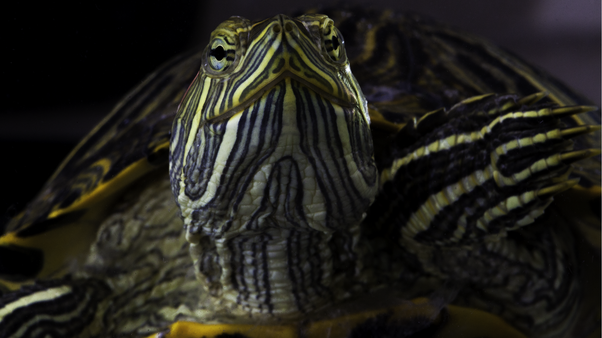 Red Ear Slider 2 - Trachemys scripta