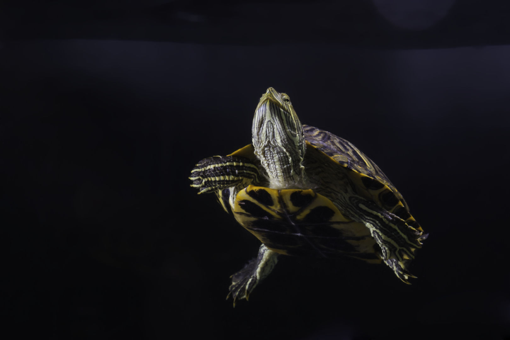 Red Ear Slider - Trachemys scripta