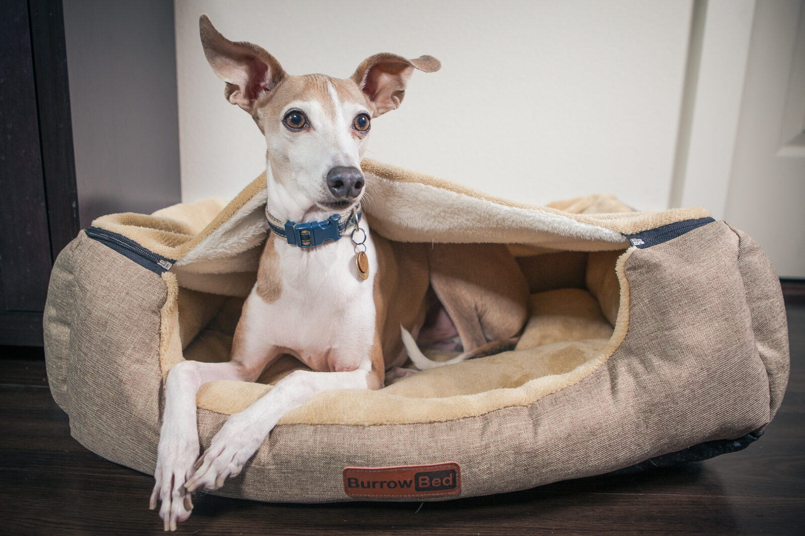 Italian Greyhound Ty in Burrow Bed